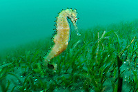 Thorny seahorse in eel grass, Manado, Sulawesi, Indonesia. Bunaken Marine Park and the nearby dive sites around Manado are a very popular dive destination, famous for beautiful coral reefs, marine biodiversity and vertical walls.