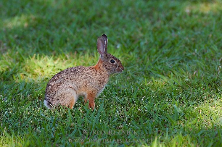 Rabbit, Desert Cottontail, Audubon's Cottontail, Sepulveda Wildlife Refuge, Southern California
