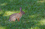 Rabbit, Desert Cottontail, Audubon's Cottontail, Sepulveda Wildlife Refuge, Southern California