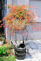 Decorated watering can on stone patio next to house wall, with pot of Begonia boliviensis Bonfire in red flowers in summer aka Nzcone, annual flowering plant