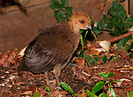 Australian Brush-turkey - newly hatched chick, Brisbane Australia.  //   Australian Brush-turkey - Megapodiidae: Alectura lathami. Length to 75cm, wingspan to 85cm, weight to 2kg. Male with a bright naked red head and neck, and a sunflower-yellow wattle (lilac in Cape York birds) at the junction with the body feathers. Female duller, wattle hardly developed, juvenile similar. Male builds a large mound (height 1.5m, diameter 4m) of leaves and litter scratched from surrounding area, often moving material a considerable distance - in urban situations may rake all the mulch and surface plants from the garden to the nest to the annoyance of gardeners.  Eggs are laid in holes dug into the decomposing vegetation at a depth of ~34 degrees C - male detects temperature with his beak. A constant temperature is maintained by adding or removing vegetation from the surface of the mound. Polygamous - eggs are laid by a number of females, and the season lasts through the summer months, Sep-Mar. Head and wattle become paler out of breeding season.  Chicks are super-precocious, able to fly and fend for themselves as soon as they have dried out after digging their way from the hatching site - from the distance they look like a quail. This chick has hatched from a mound in a suburban back-yard. IUCN Status: Least Concern.  - Eric Lindgren.