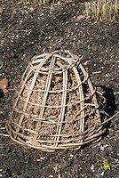 Frost protection of plants for winter using upside down wicker basket and shredded dried leaves