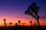 Sunset with Joshua Tree silhouettes, Joshua Tree National Park, California, USA.