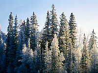 Frosted Trees in Winter Setting, in Liard River Hot Springs Provincial Park, Northern British Columbia, Canada