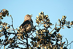 Song Thrush, Turdus philomelus, singing at top of tree, Sierra de Andujar Natural Park, Sierra Morena, Andalucia, Spain