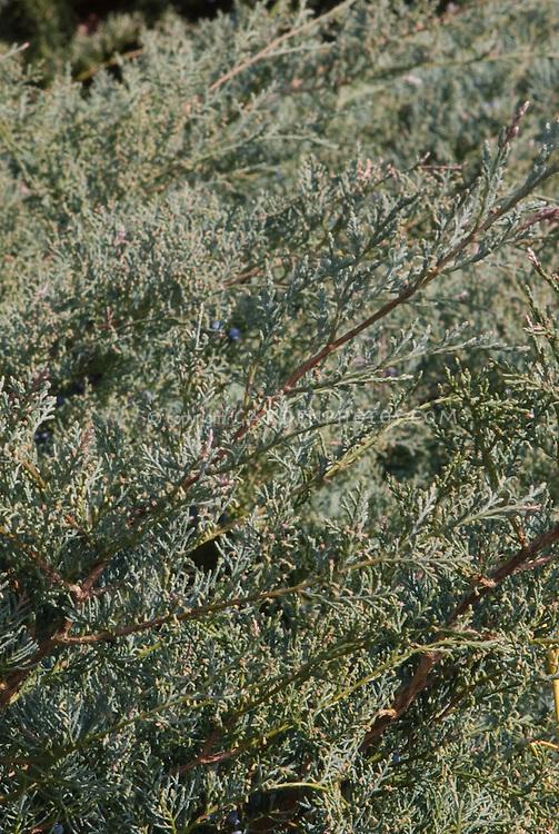 Eastern Red Cedar Juniperus virginiana Grey Owl juniper