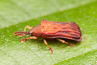 Basswood Leaf Miner (Baliosus nervosus),  Ward Pound Ridge Reservation, Cross River, Westchester County, New York