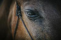 Sumba Horse
