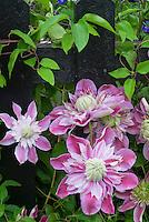 Clematis Josephine aka Evijohill climbing black picket fence, pink double flowered vine perennial