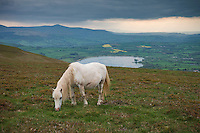 White Wild Welsh Mountain Pony on Mynydd Llangorse hill, Black Mountains, Brecon Beacons national park, Wales