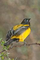 561850036 a wild audubon's oriole icterus graduacauda at santa clara ranch hidalgo county rio grande valley texas united states