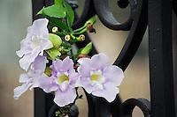 Photo of Flower against Ironwork- Charleston, SC