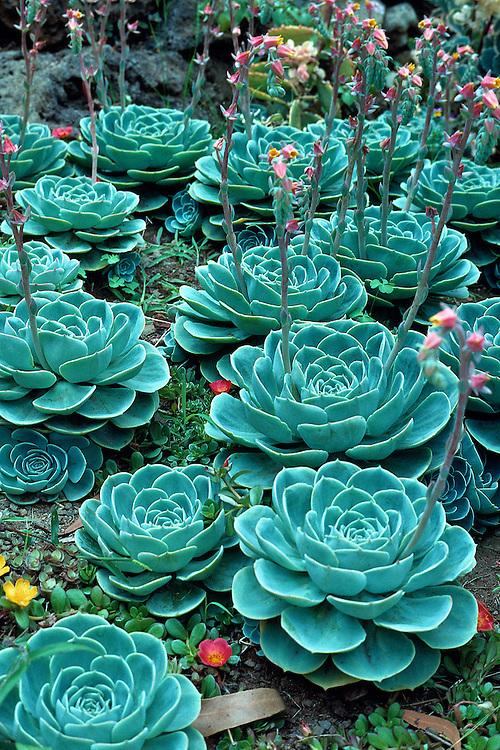 Stunning collection of  bright, textured, echeveria x imbracata plants.