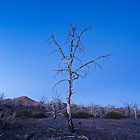 Burnt tree in Mojave national preserve, California