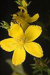 Common St. Johnswort, Hypericum perforatum, alien