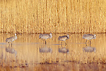 Sandhill cranes, Bosque Del Apache National Wildlife Refuge, New Mexico