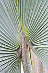 Detail of palm leaves, repeated patterns, found on Osa Peninsula, southern Costa Rica.