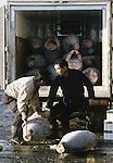 Buyers load tuna onto a truck at the Tsukiji Fish Market in Tokyo, Japan. A skilled army of licensed middlemen and buyers purchase tuna and a variety of seafood for sale in the market's 1,400 shops that are destined for Tokyo's restaurants.  Because of the Japanese passion for freshness, all the fish sold will be consumed by Tokyo residents the following day. (Jim Bryant Photo).....