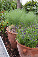 Fennel growing in clay pots, lavender Lavandula herb in flower, gold bell peppers, in vegetable and herb garden