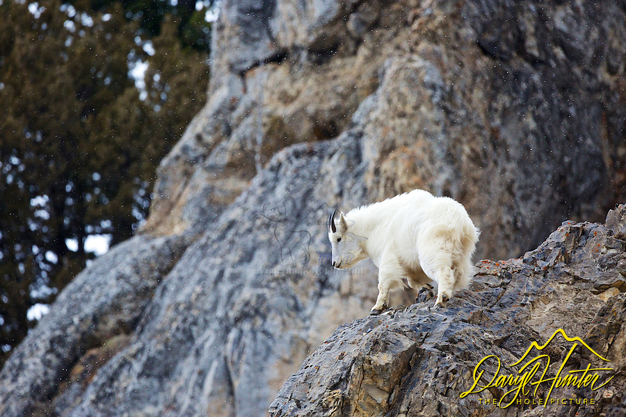 Mountain goat kid on a windy/snowy day in the Snake River Range north of Alpine, Wyoming