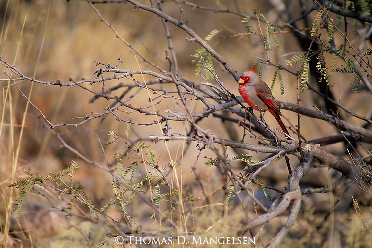 Nearly concealed in a tangle of cat's claw bush in southeast Arizona, a vibrant pyrrhuloxia forages on small seeds of desert chapparral grasses and shrubs.