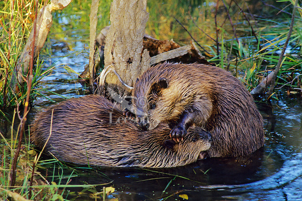 Two adult beavers spend a moment grooming one another.  Western U.S., fall.