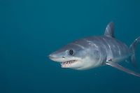 Shortfin Mako Shark (Isurus oxyrinchus), Nine-mile Bank, San Diego, California, USA