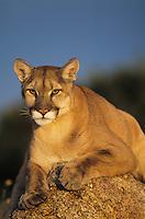 Cougar, Mountain lion (Puma concolor), adult sitting on rock, captive, USA