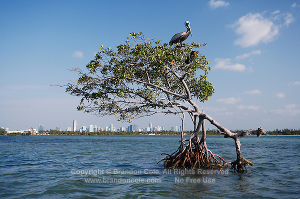 qa0011-D. pelican ontop of mangroves, with downtown Miami sprawling behind. Key Biscayne, Florida, USA, Atlantic Ocean..Photo Copyright © Brandon Cole. All rights reserved worldwide.  www.brandoncole.com..This photo is NOT free. It is NOT in the public domain. This photo is a Copyrighted Work, registered with the US Copyright Office. .Rights to reproduction of photograph granted only upon payment in full of agreed upon licensing fee. Any use of this photo prior to such payment is an infringement of copyright and punishable by fines up to  $150,000 USD...Brandon Cole.MARINE PHOTOGRAPHY.http://www.brandoncole.com.email: brandoncole@msn.com.4917 N. Boeing Rd..Spokane Valley, WA  99206  USA.tel: 509-535-3489