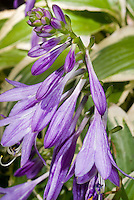 Hosta flowers Platinum Tiara