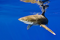 oceanic whitetip shark, Carcharhinus longimanus, investigating bait cage, note nictiating membrane, off Big Island, Hawaii, Pacific Ocean