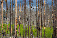 Fire-scarred but still living, these Lodgepole Pines are evidence  of a recent rapidly moving wildfire.
