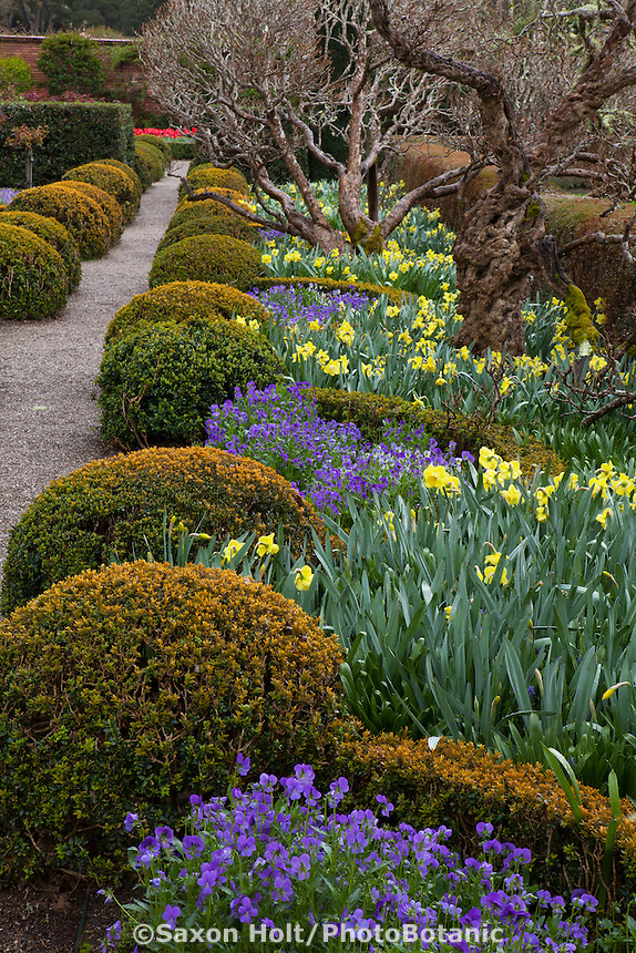 Daffodils and pansy companion planting in the Chartre Window bed in boxwood parterre at Filoli Garden