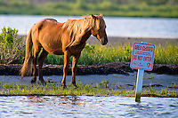 "Wild horse at Assateague Island, Maryland eyes an ""Area Closed - Do Not Enter"" sign posted for the protection of endangered species."