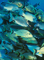 School of Blue Striped Grunts