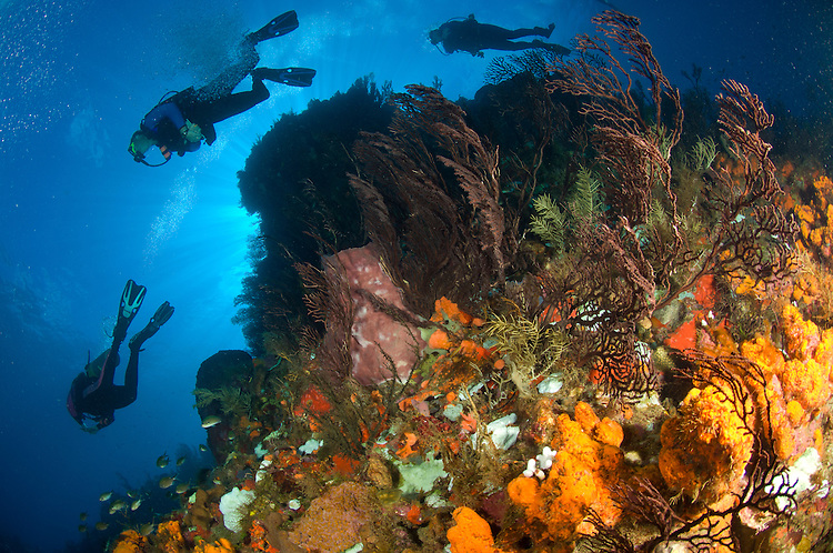 Divers on a reef, covered in deepwater sea fan: Iciligorgia schrammi, in Soufriere marine reserve