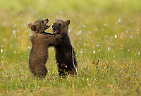 Brown Bear (Ursos arctos), cubs play fighting, Finland, July 2012