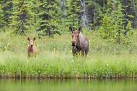 Cow and calf moose along lakeside shore, Flat lake, Alaska.