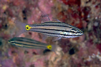 The five-lined cardinalfish, Cheilodipterus quinquelineatus, feeds on small invertebrates as well as fish.  Mabul Island, Malaysia.