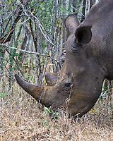 White Rhino, Hluhluwe-Umfolozi NP, SA