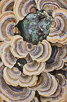 Turkey tail fungus (Trametes versicolor), on stump, North Carolina, USA