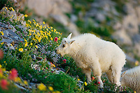 MG-6  Young Mountain Goat (Oreamnos americanus) eating wildflowers.  Mt Timpanogos Wilderness Area, Wasatch Mountains, Utah.  Original:  35mm Transparency.