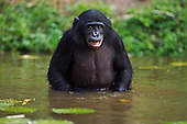 Bonobo adolescent male wading through water (Pan paniscus), Lola Ya Bonobo Sanctuary, Democratic Republic of Congo.