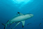 Grey reef shark at North Horn.Carcharhinus amblyrhynchos