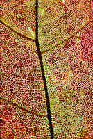 FALL FOLIAGE: LEAF VEINS<br /> Close-up of Oak Leaf Shows Veins &amp; Water Drops<br /> In the autumn, trees stop photosynthesis. As the green chlorophyll disappears from the leaves, yellow, orange and red become visible.