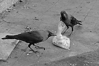 Black and white, the scavengers of Mumbai, Crows picking the left overs, central Mumbai India