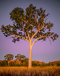 Post sunset light bathes this ghost gum tree in a warm illumination, Australia.