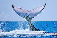 humpback whale lobtailing, Megaptera novaeangliae, Big Island, Hawaii, Pacific Ocean