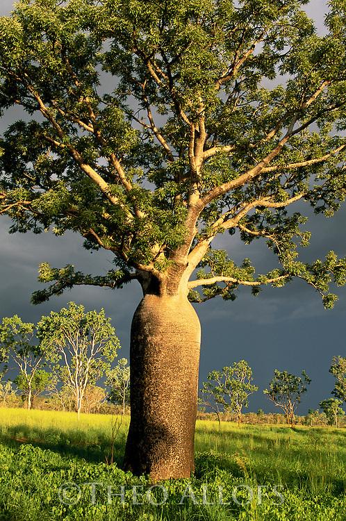 Australia, Western Australia,  Kimberley region, close-up of boab tree in meadow in dramatic light, blue-black sky, thunderstorm approaching