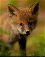 BNPS.co.uk (01202 558833)<br /> Pic: AdamTatlow/BNPS<br /> <br /> Inquisitive fox cub.<br /> <br /> Cotswold gamekeeper shoots amazing pictures of British wildlife - without the aid of long lenses and elaborate techniques.<br /> <br /> The incredible photos may look like they have been shot from miles away - but amazingly Adam Tatlow is actually just feet away from his wild subjects.<br /> <br /> The 46-year-old's affinity with nature has allowed him to get up close and personal with some of the UK's most endearing wildlife.<br /> <br /> Adam's trusty camera is never far from his side as he goes about his work as a gamekeeper on an estate in the Cotswolds countryside.<br /> <br /> He has built up a stunning portfolio of snaps that lift the lid on rarely-seen birds and animals found in forests throughout the country.<br /> <br /> Adam's subjects have included timid fox cubs, bounding hares, inquisitive hedgehogs and colourful kingfishers.<br /> <br /> He is so at one with nature that he knows how to call animals to him, and often gets within 30ft of them.